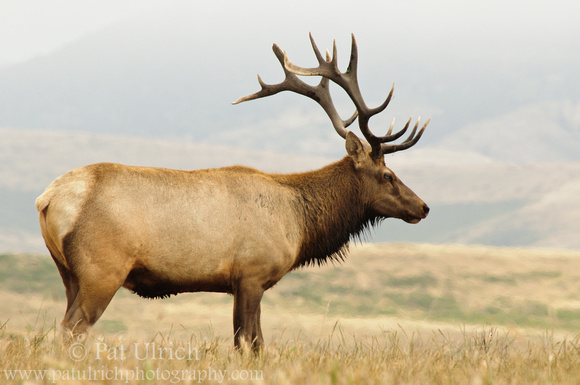 Tule elk in Point Reyes