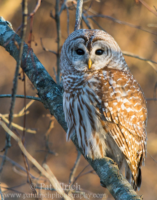Barred owl at sunset in Parker River National Wildlife Refuge