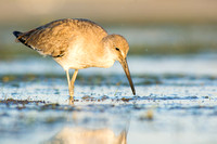 Willet eyes a meal