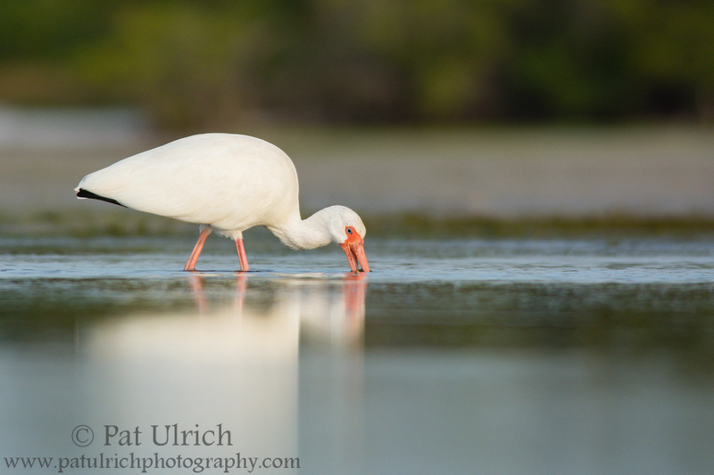 Wildlife Photography by Pat Ulrich: Wading Birds &emdash; White ibis feeding