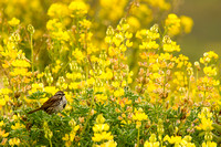 Song sparrow and yellow bush lupine