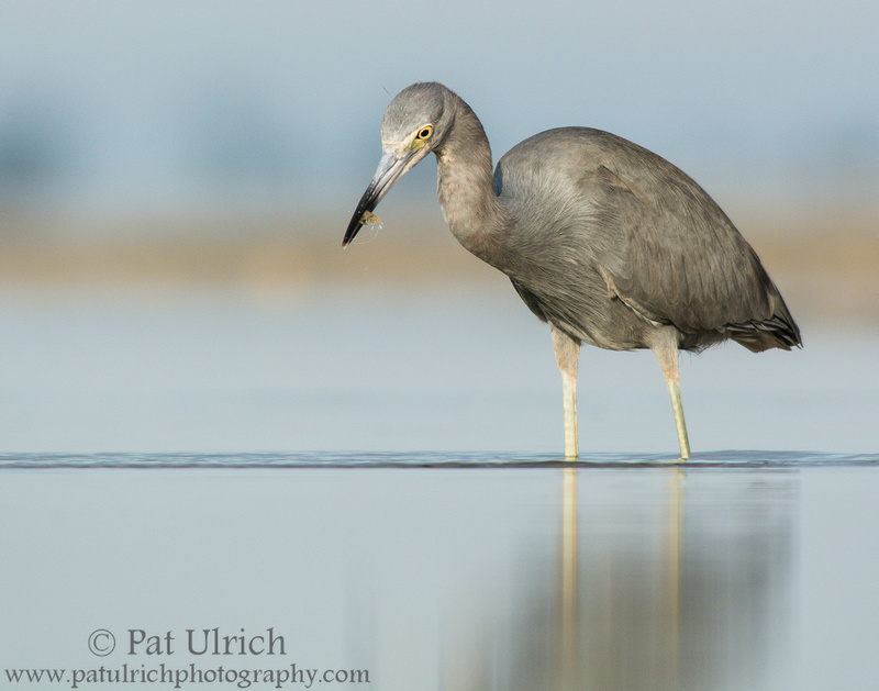 Little blue heron pulls a shrimp from a in tidal pool in Florida