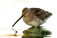 Dowitcher at sunset