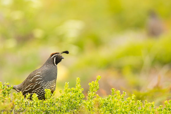 Quail on a bush (with another in the bokeh)