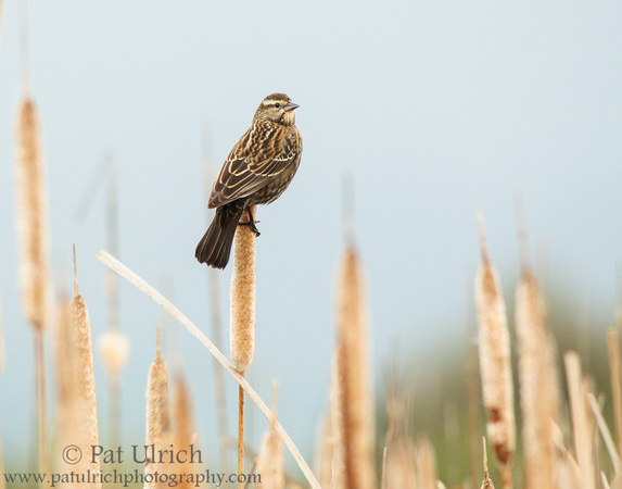 Female red-winged blackbird on cattails in California