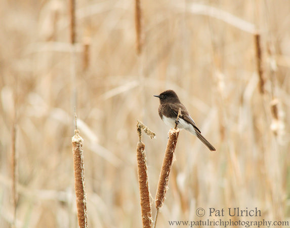Black phoebe on cattails in Coyote Hills Regional Park on San Francisco Bay