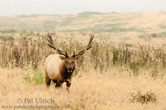 Dominant bull tule elk in Point Reyes National Seashore
