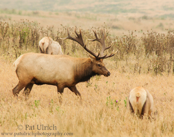 Tule elk bull walking through his harem in Point Reyes National Seashore