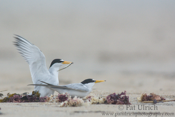 Least tern courtship display on the beach in Massachusetts