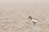 Semipalmated sandpiper on the tidal flats
