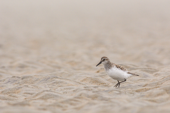Semipalmated sandpiper on the tidal flats, Plum Island, Massachusetts