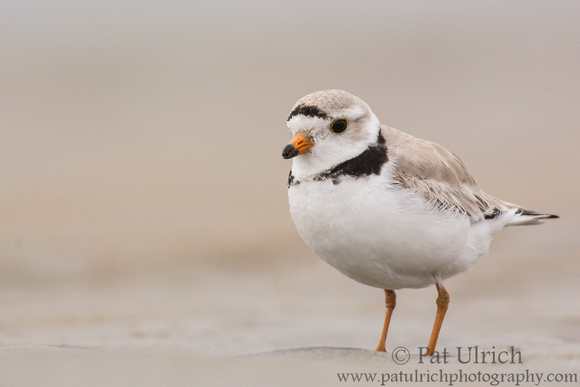 Piping Plover standing in wet sand on Plum Island