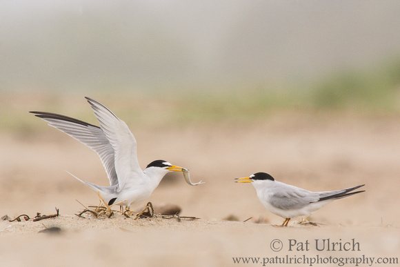 Least tern courtship display at Sandy Point State Reservation, Massachusetts