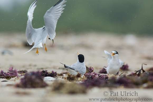 A male least tern lands with a fish to offer to a female