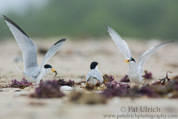 Two male least terns fight over a female at Sandy Point State Reservation in Massachusetts