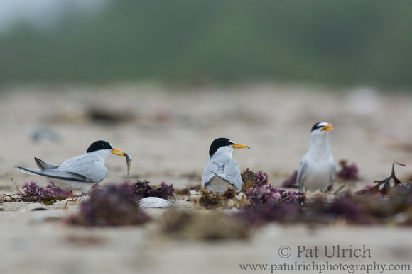Two male least terns stare eachother down in a fight over a female