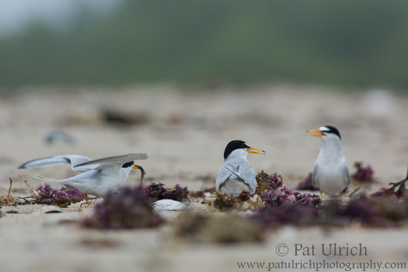 A least tern flies away after unsuccessfully offering a fish to a female