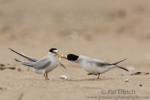Least tern courtship display
