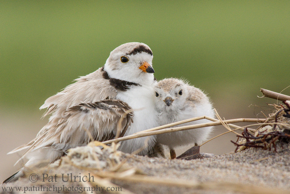 Piping plover chick snuggling its father in Massachusetts