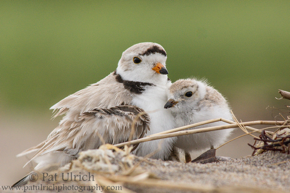 Piping plover father with chick at Sandy Point State Reservation in Massachusetts