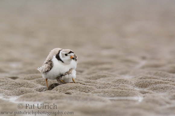 A piping plover looks to brood under his father's wing in Massachusetts