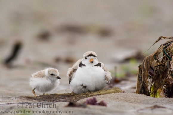 Male piping plover with chick at Sandy Point State Reservation, Massachusetts