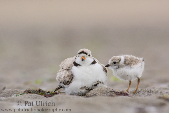Piping plover father with chicks brooding at Plum Island, Massachusetts