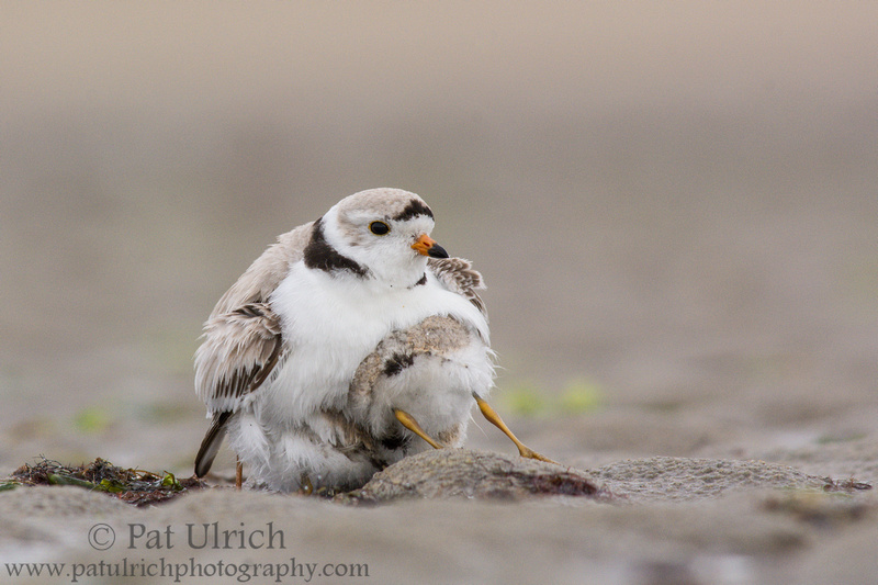 Piping plover chick joins two siblings under the parents wing