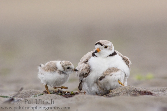 Four piping plover chicks looking to brood under their father