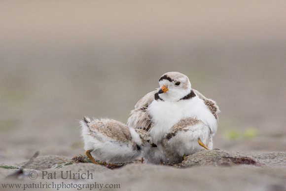 Wildlife Photography by Pat Ulrich: Plovers &emdash; Piping plover parent with chick
