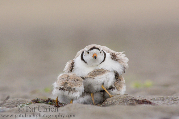 Four piping plover chicks brooding under father on Plum Island, Massachusetts