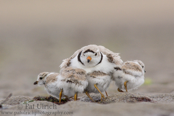 Male piping plover jumps off of four brooding chicks