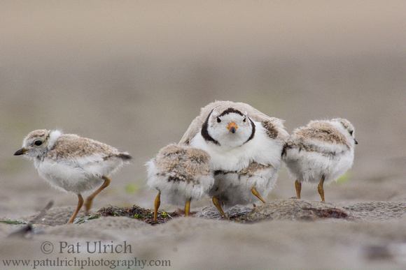 Piping plover parent with four chicks