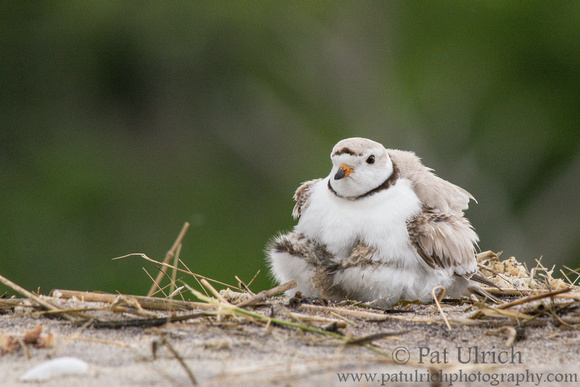 Female piping plover brooding two chicks on Plum Island, Massachusetts