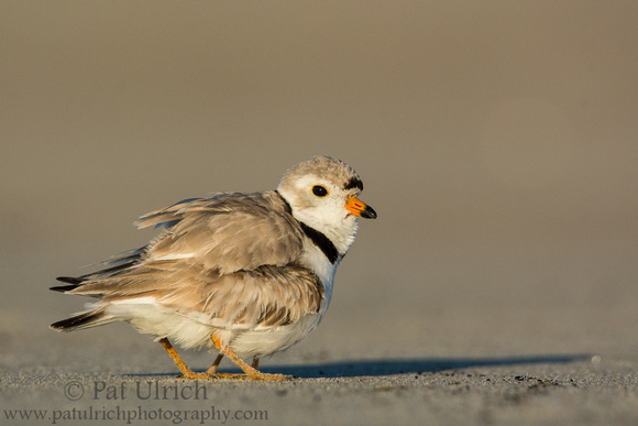 Piping plover vocalizes while brooding a chick