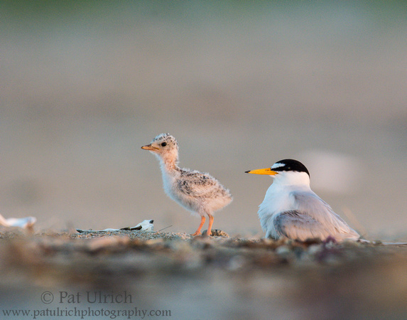 Least tern chick walking on a Massachusetts beach