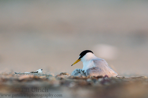 Least tern chick with parent