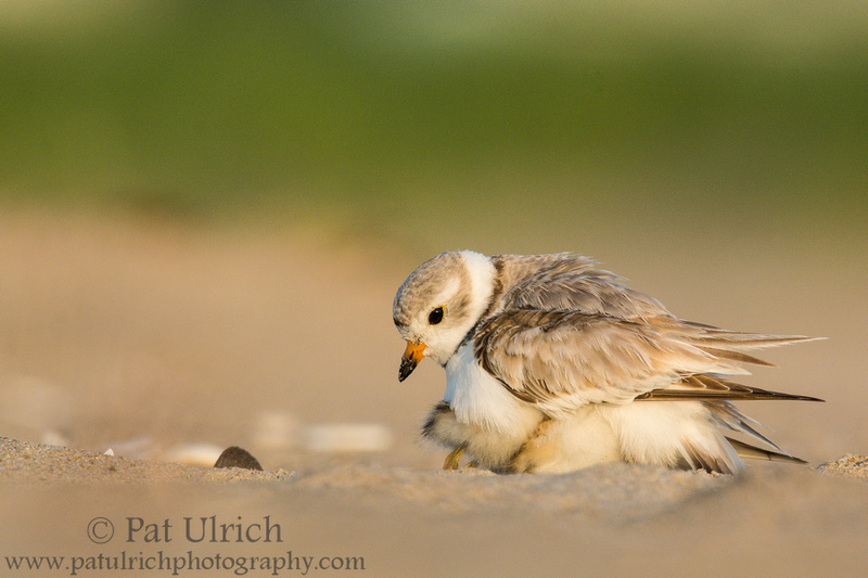Piping plover looking after its brooding chicks