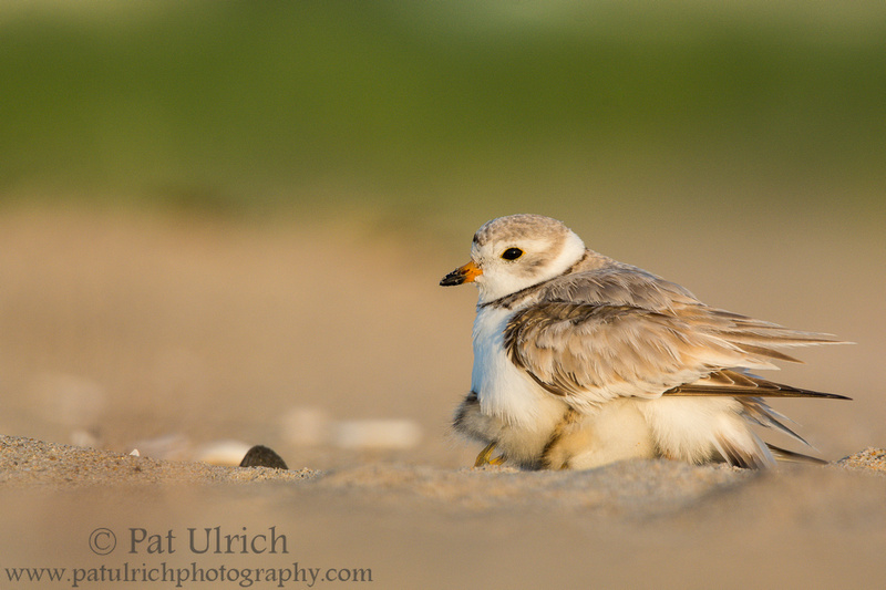 Piping plover brooding its chicks on the beach in Massachusetts