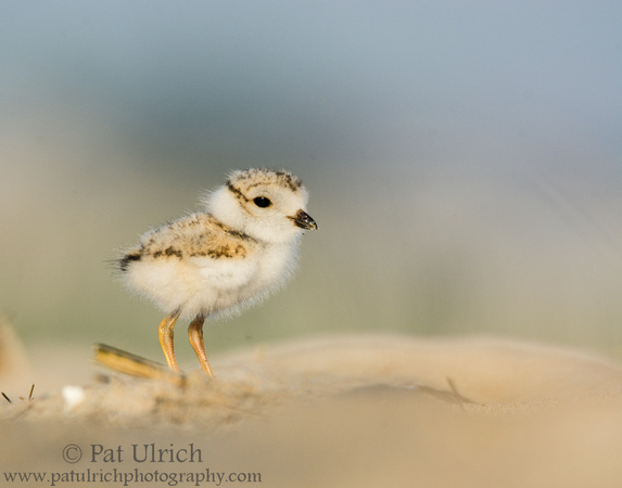 Piping plover chick at Sandy Point State Reservation, Massachusetts