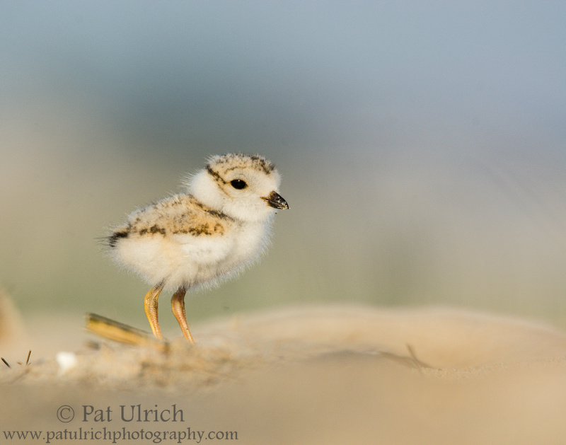 Piping plover chick standing tall in morning light on Plum Island, Massachusetts
