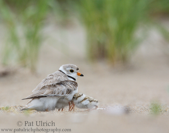 Piping plover chick attempting to brood on Plum Island, Massachusetts