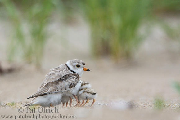 Photo of three piping plover chicks brooding under a parent