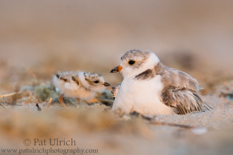 Piping plover looking for an opening to snuggle under its mother