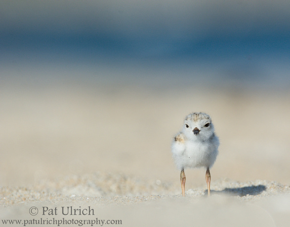 Piping plover chick on the beach on Plum Island, Massachusetts