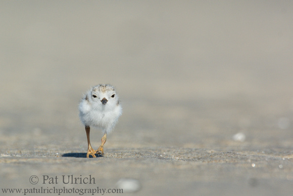 Piping plover chick in motion at Sandy Point State Reservation