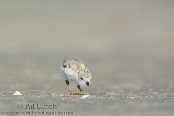 Piping plover chick stops to check something out on the beach