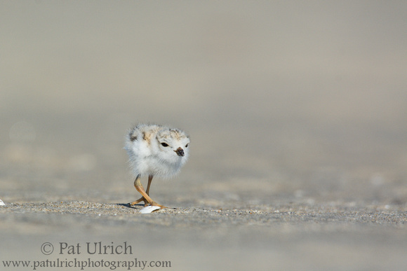 Piping plover chick in motion