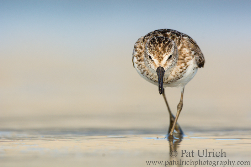 Head-on view of semipalmated sandpiper in Massachusetts