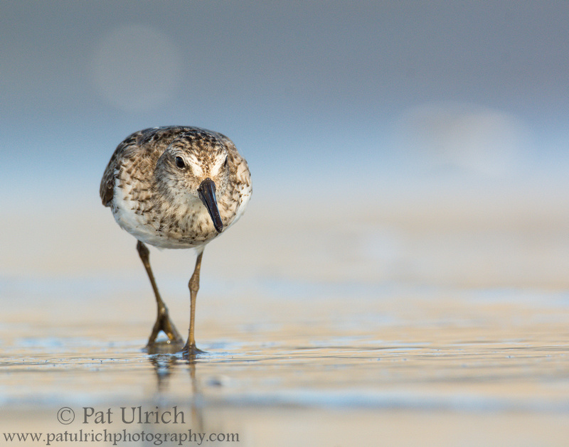 Semipalmated sandpiper prowling the tidal flats in Massachusetts